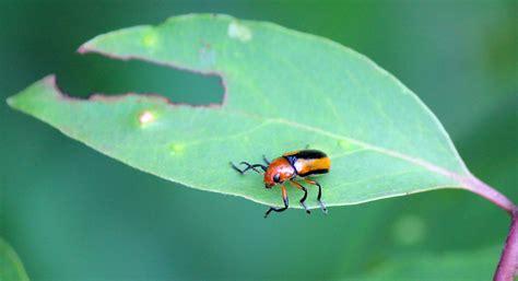 Bando Leaf Bc 05 101 species suburban biodiversity in southeastern carolina