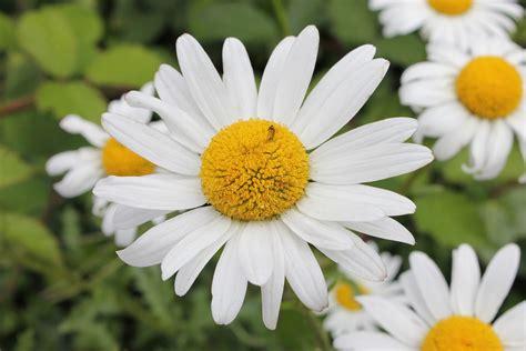 margherita fiori margherita coltivazione