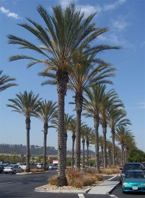 Landscape Design For Small Spaces The 2 Minute Gardener Photo Date Palm Phoenix Dactylifera