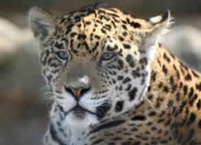 Animals Jaguars Jaguar Related Images Start 0 Weili Automotive Network