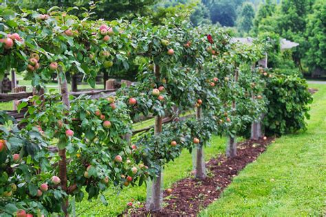 gravenstein apple espalier certainly contains dropped