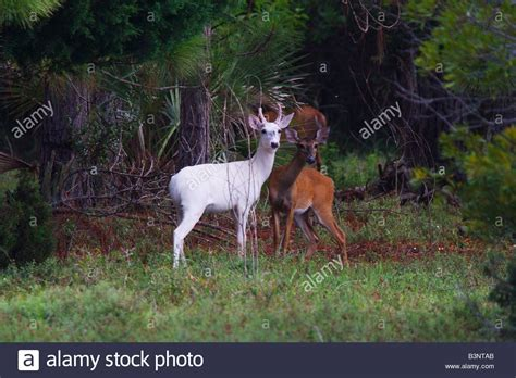 Deer And Doe Deer And Doe Hip Pack Hip Biru a pair of white tailed deer one white buck and one