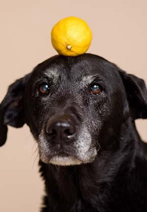 are lemons bad for dogs can dogs eat lemons or are lemons bad for dogs a look