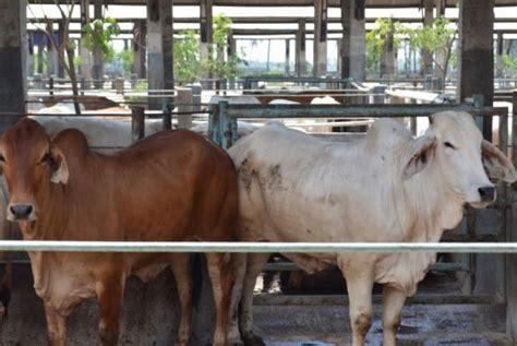 sapi australia untuk kebutuhan 2017 mulai dikirim ke indonesia