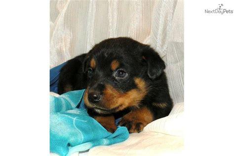 8 week rottweiler meet blind 8 week a rottweiler puppy for sale for 50 blind 8 week