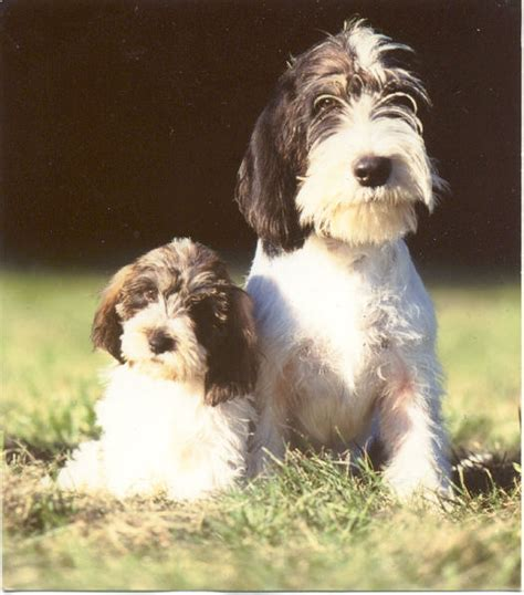 pbgv puppies we acquired our pbgv from the late snelling of the oaktree kennel in canada