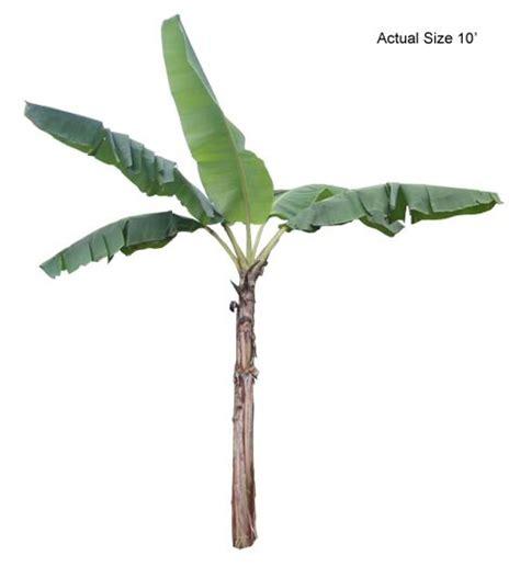 mini banana tree banana tree banana palm tree musa spp