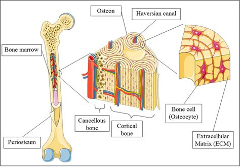 with a bone advances in bone tissue engineering intechopen