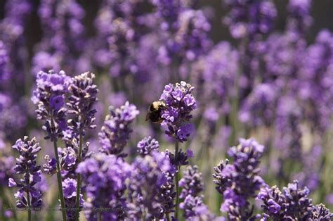 Purple Flower With Bee Wallpaper Desktop | purple flowers wallpapers wallpaper cave