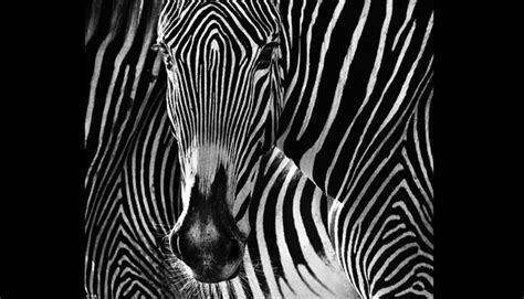 Los Angeles Putih baca ini anda akan tahu rahasia kulit belang zebra