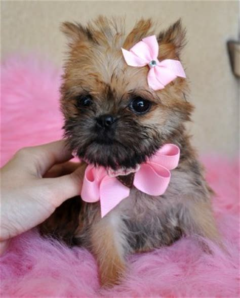 teacup brussels griffon puppies for sale teacup puppies for sale florida puppies for sale ta puppies for sale orlando