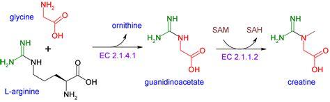 creatine synthesis creatine