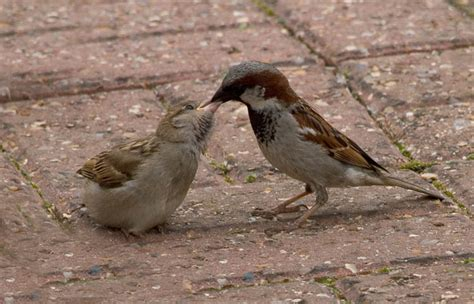 male house sparrow feeding baby photo carole stevens