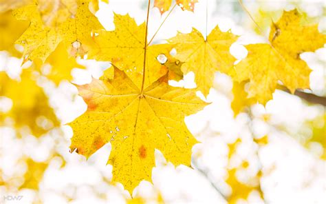 high resolution maple leaf deviantart yellow maple leaves wallpaper hd wallpaper gallery 425