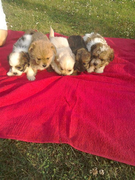 pomeranian puppies for sale essex ready now pomeranian x chihuahua puppies for sale clacton on sea essex pets4homes