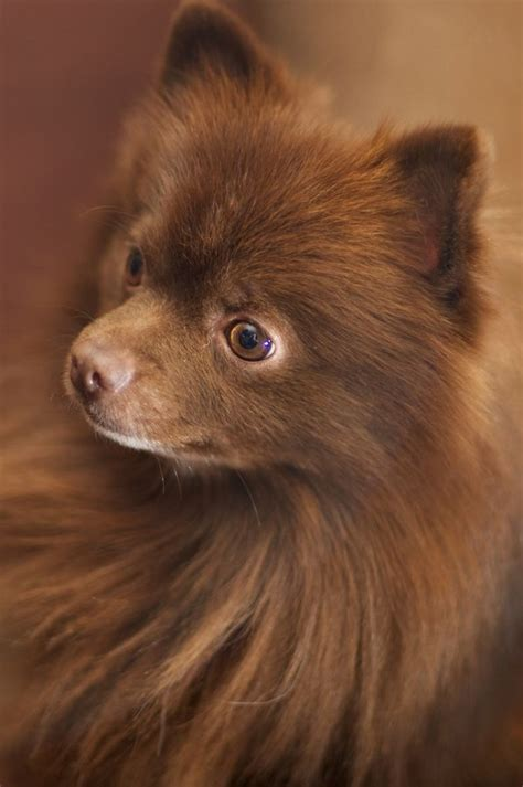 chocolate brown pomeranian 21 best images about pomeranian s on black pomeranian white pomeranian