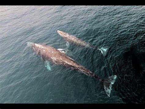 whale malibu drone of gray whales the coast of malibu march