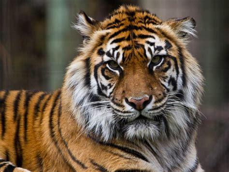 bali safari welcomes sumatran tiger   safari family