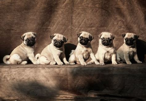 baby pug price in india pug cuteness overdose mimi s messages a line puppys and