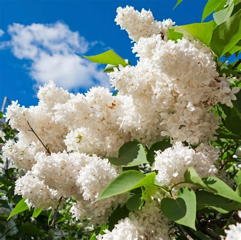 lilac tree lilac plant types learn about different varieties of lilac