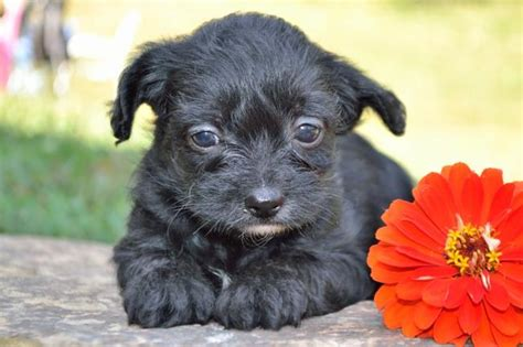 yorkie poo puppies washington state fluffy friendly yorkie poo puppies craigspets