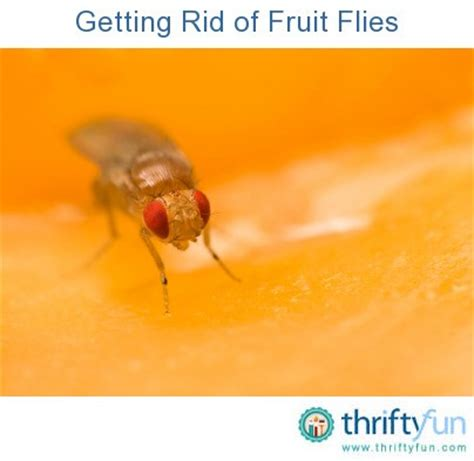 why do i have fruit flies in my bathroom getting rid of fruit flies thriftyfun