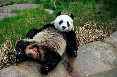 Edinburgh Birth Records Edinburgh Zoo Keepers Insist Panda Tian Tian Is Still Behaving