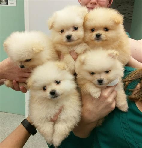 pomeranian uk breeders pomeranian puppies