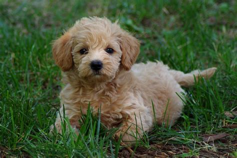 schnoodle puppies growing puppies virginia schnoodle breeder hypoallergenic dogs gallery