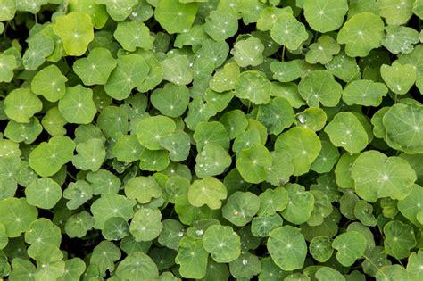 Kapuzinerkresse Winterhart by Anzucht Der Kapuzinerkresse 187 Aussaat Bis Auspflanzen