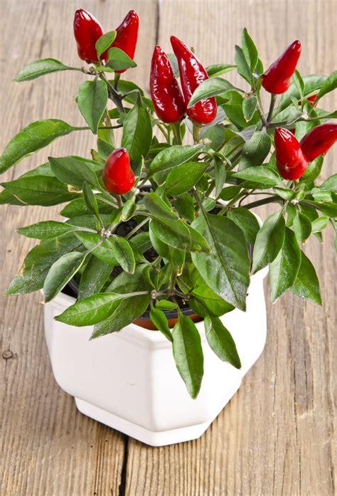 peperoncino vaso coltivare il peperoncino in vaso idee e consigli per