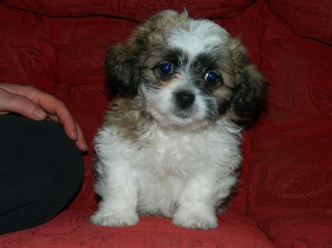 bichon pomeranian mix puppies for sale bichon pom pictures breeds picture