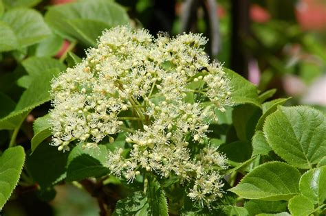 climbing shade loving plants climbing hydrangeas hardy flowering vines for shade