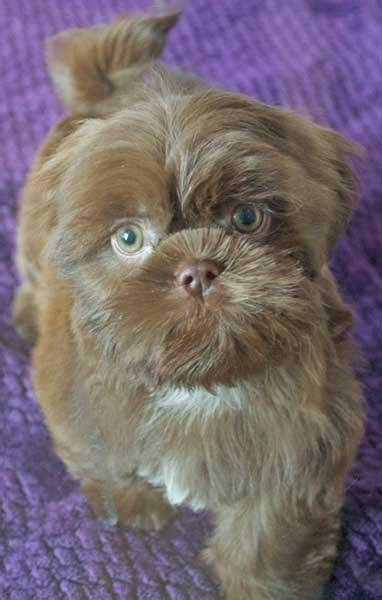 shih tzu puppies for sale in rock arkansas shih tzu puppies shih tzu grooming shih tzu puppy for sale in south florida