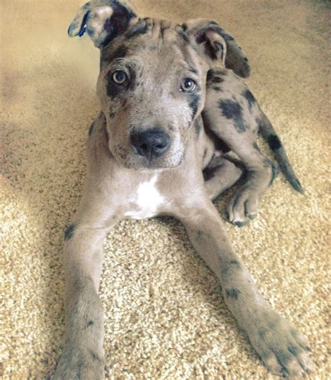 pit mix puppies 25 best ideas about pit bull mix on pitbull mix breeds pit bull dogs and