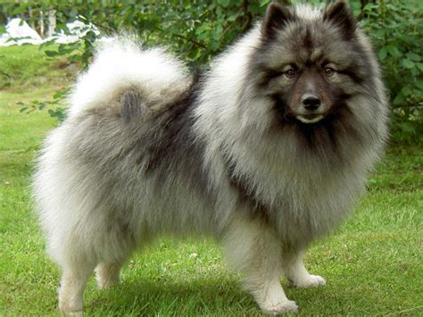 spitz breeds spitz type dogs dodogs