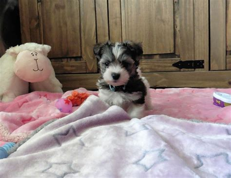havanese or coton de tulear havanese x coton de tulear puppies newport isle of wight pets4homes