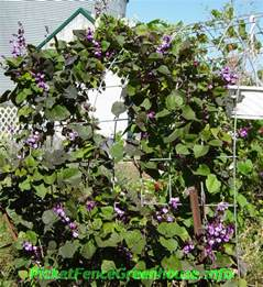 purple hyacinth bean vine flowering vines picket fence