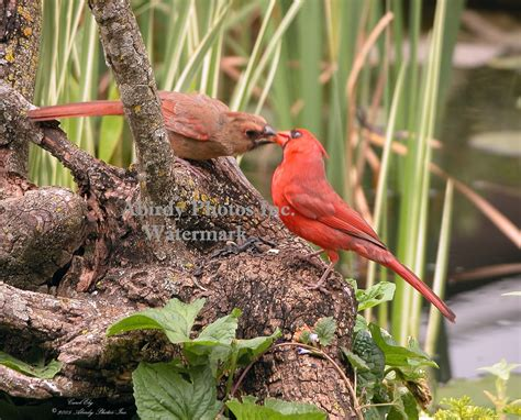 Pictures Of Baby Cardinals baby cardinal images search