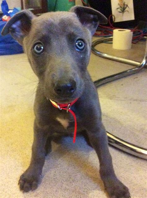 greyhound for sale stunning blue greyhound for sale reduced newport newport pets4homes