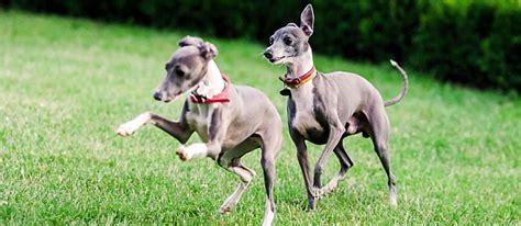 fastest dog breeds carecom