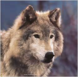 l esprit des 2 187 quand la peur du loup