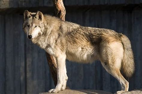 difference between wolves and dogs vs wolf difference and comparison diffen