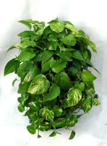 pothos epipremnum aureum    easiest plants