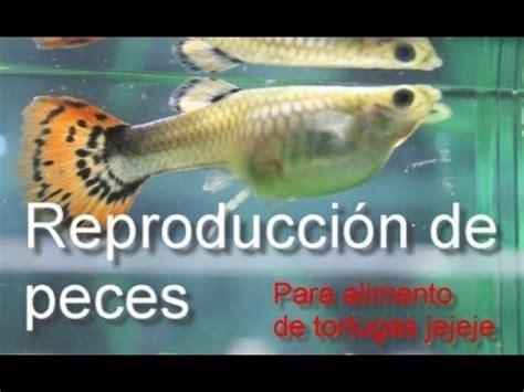 los peces de la reproducci 243 n de peces como alimento para tortugas youtube