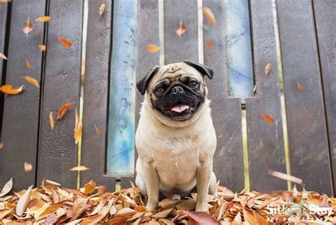 pug photography smell the roses otis by sit stay pet photography the pug diary