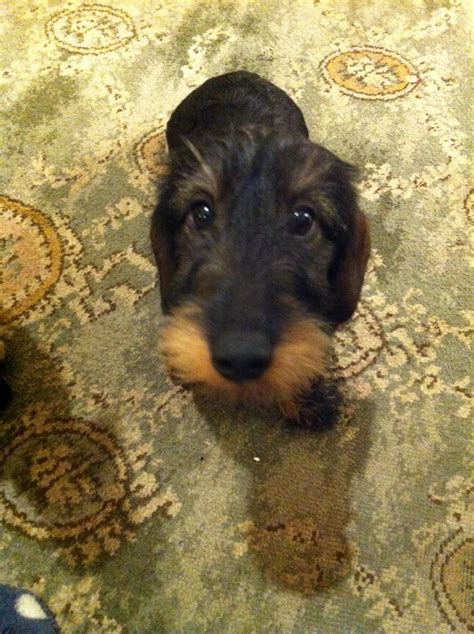 haired dachshund puppies for sale standard wirehaired dachshund puppies york pets4homes