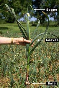plant garlic  minnesota article