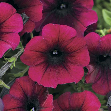 easy wave burgundy velour petunia seeds from park seed