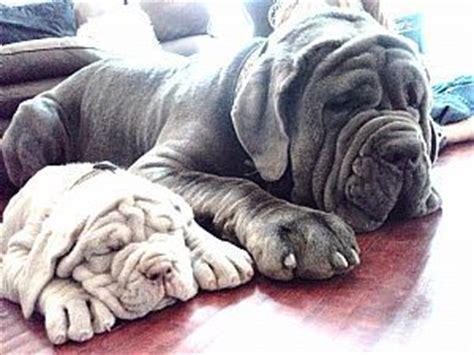 neapolitan mastiff puppies for sale in ohio neapolitan mastiff breeders and neapolitan mastiffs for sale puppies i want